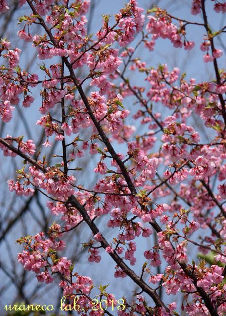 3月13日河津桜4