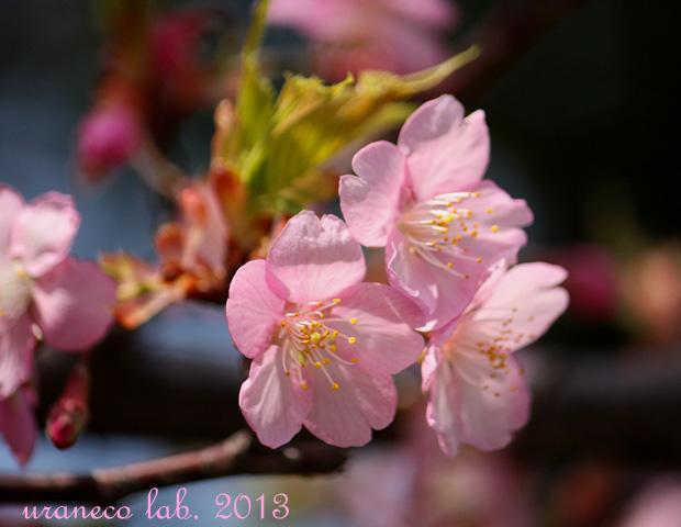 3月13日河津桜3