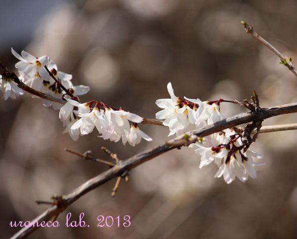 3月14日小豆島連翹2