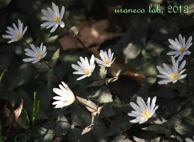 3月11日木陰の白い花の群生