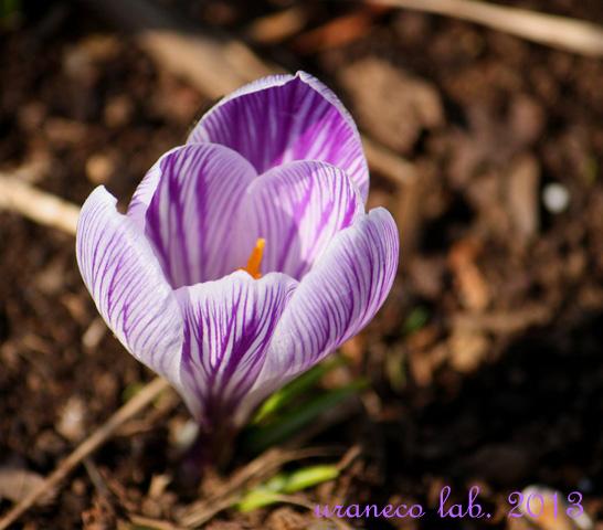 3月18日クロッカス紫白縞