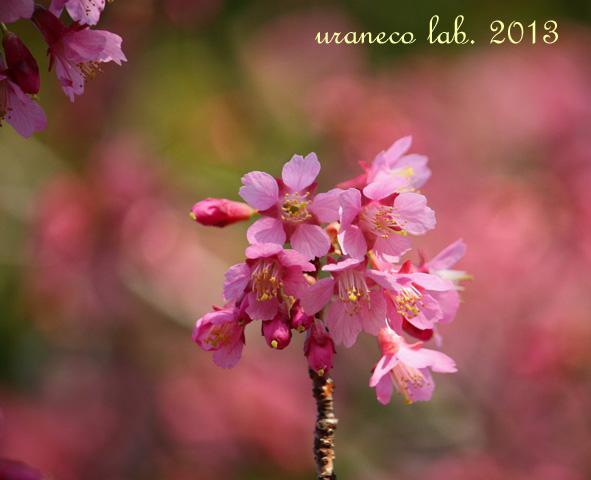3月15日寒緋桜
