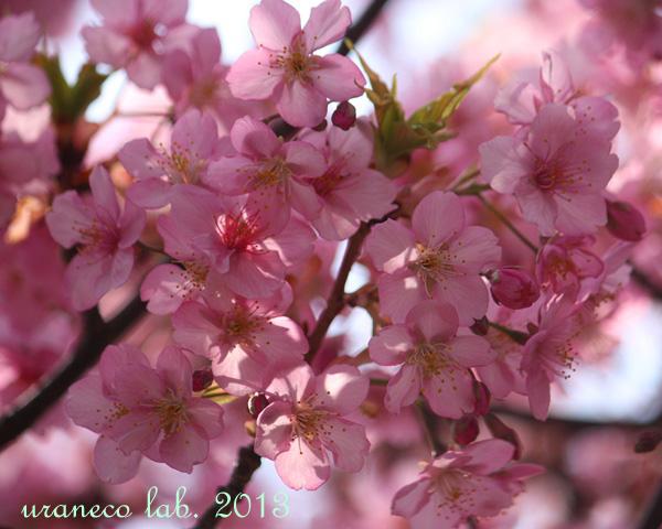 3月18日河津桜逆光