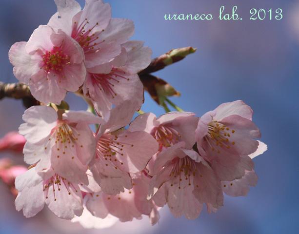 3月18日早咲き寒桜