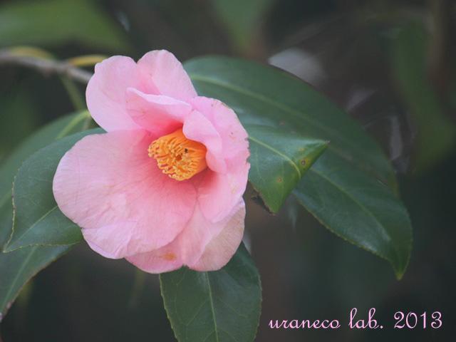 3月14日桃色藪椿3