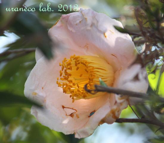 3月18日桃色つばき