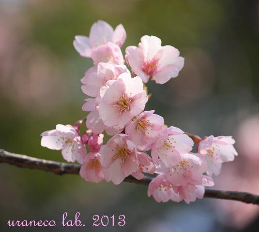 3月21日寒桜