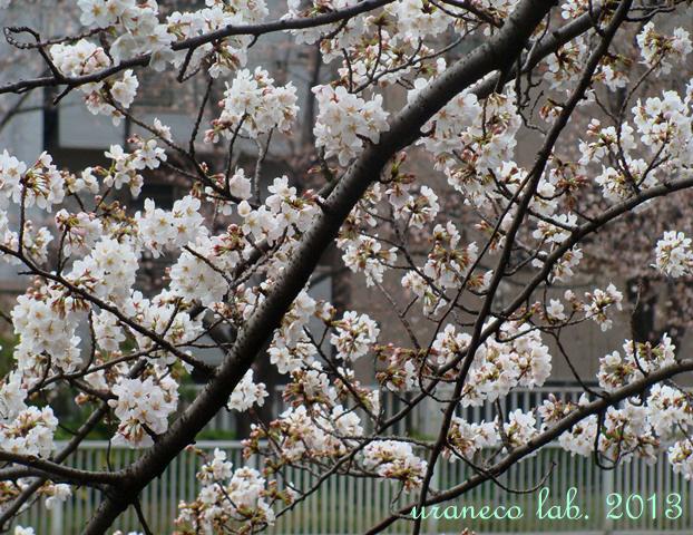 3月21日桜咲く