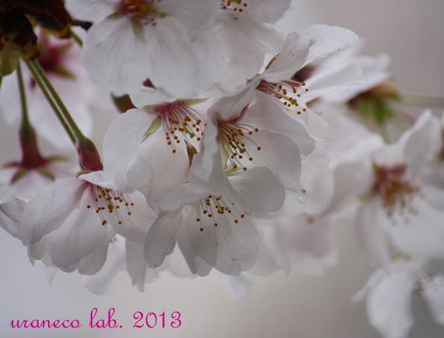 3月26日桜アップ4