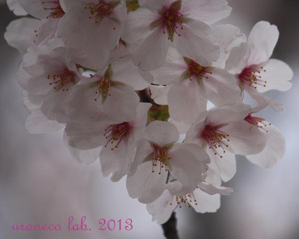 3月26日桜色仄か7