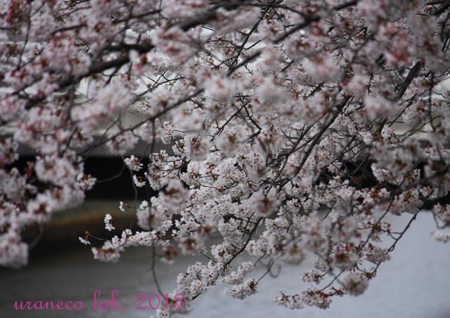 3月26日川辺の桜