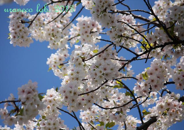 3月27日さくら青空7
