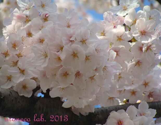 3月28日ソメイヨシノ3