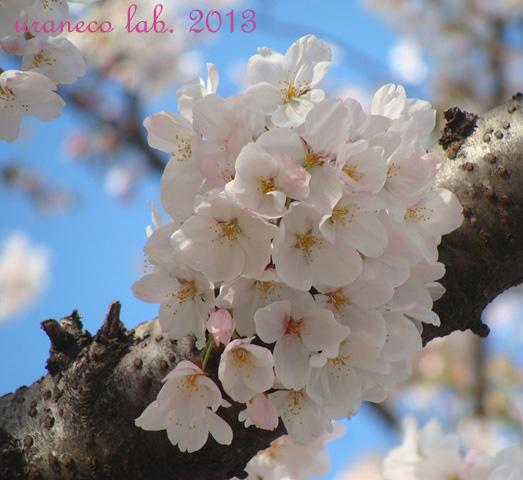 3月28日ソメイヨシノ4