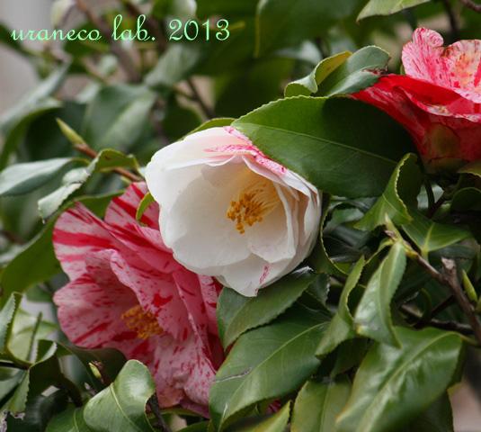 3月26日椿源平咲き