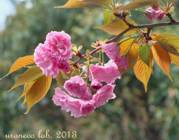 3月31日八重桜