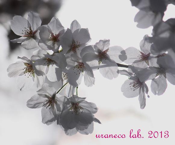3月26日透ける花びら