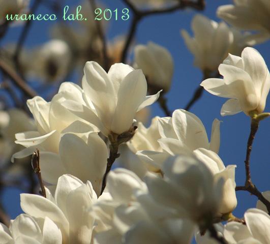 3月26日白木蓮