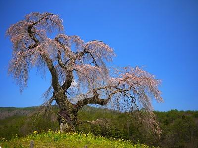 13:09しだれ桜s-