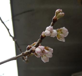 2010 桜1