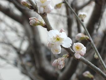 2010 桜2