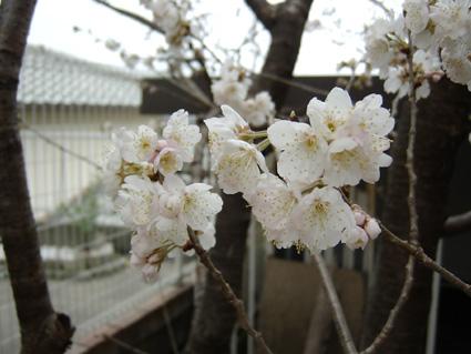2010 桜3