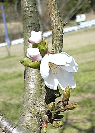 原っぱの桜咲く