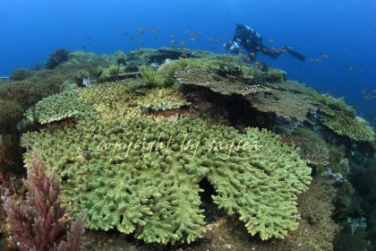 天草牛深片島にあるテーブルサンゴ