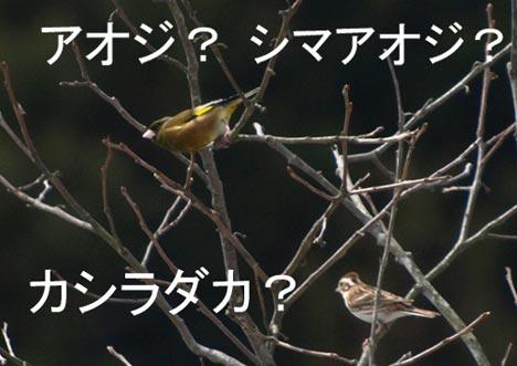 aojika.jpg