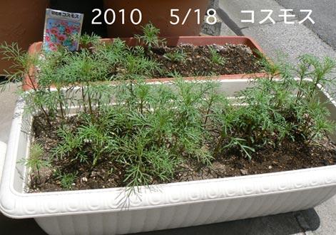 kosumosu_20100521122109.jpg