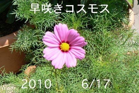 kosumosu_20100617162717.jpg