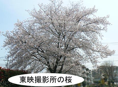 satueisyonosakura.jpg