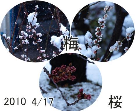 umesakura.jpg