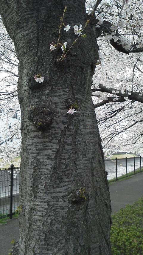 幹にしがみつく様に咲いて桜・・・逞しくて可愛い♡