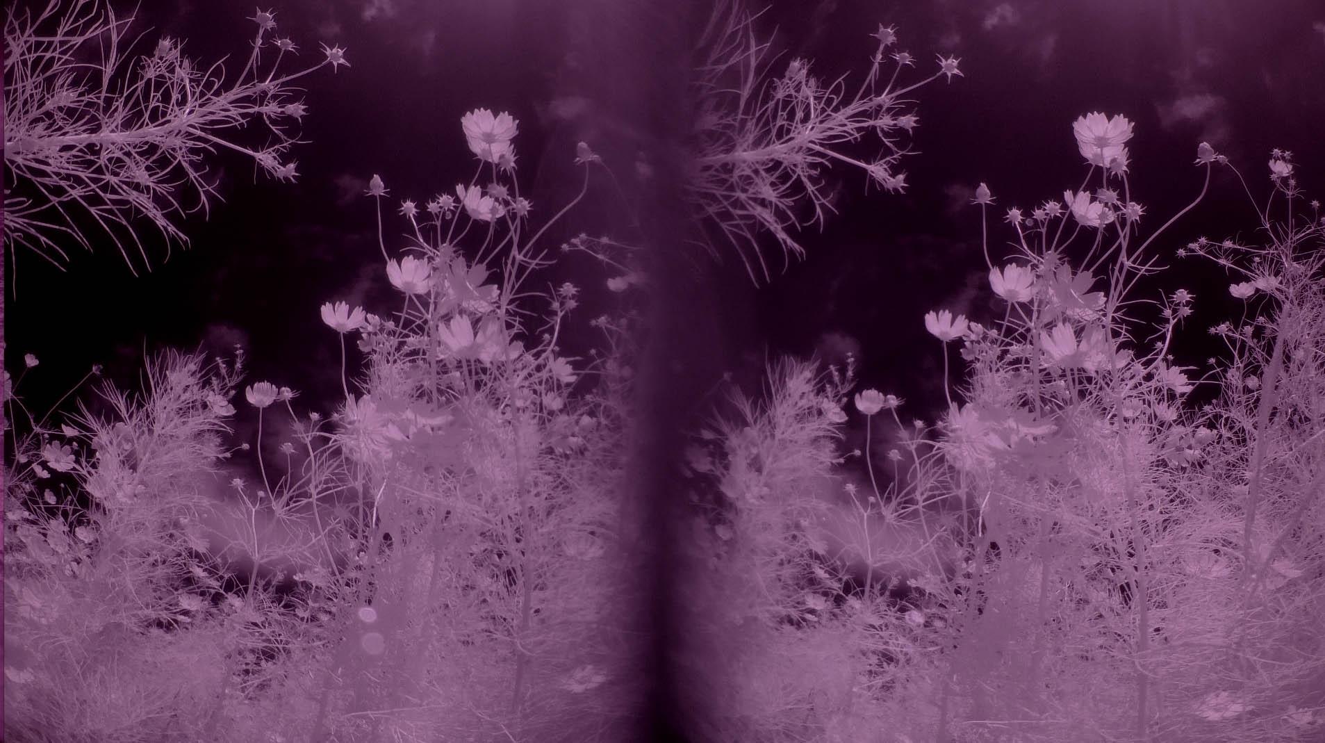 140925パナA500,4K flower COSMOS