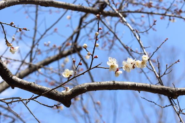 仙台・西公園で梅が開花