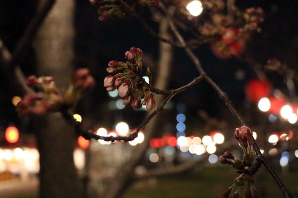西公園お花見広場の桜2