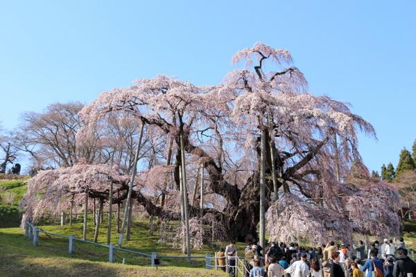 三春の瀧桜