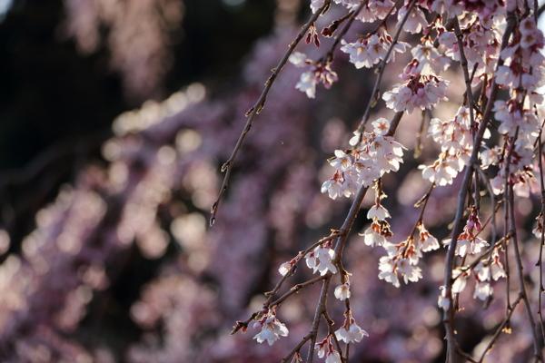 三春の滝桜6