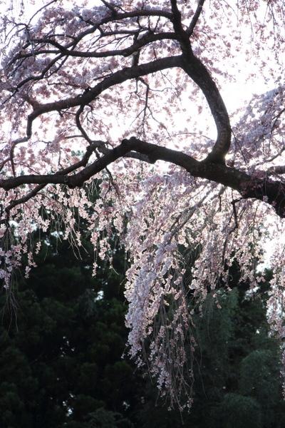 三春の滝桜5