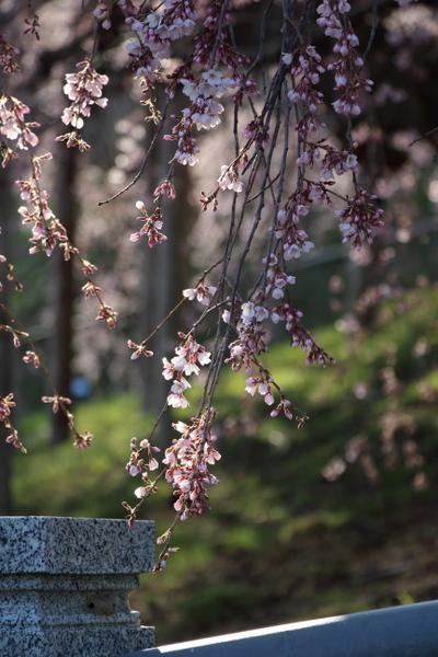 三春の滝桜7
