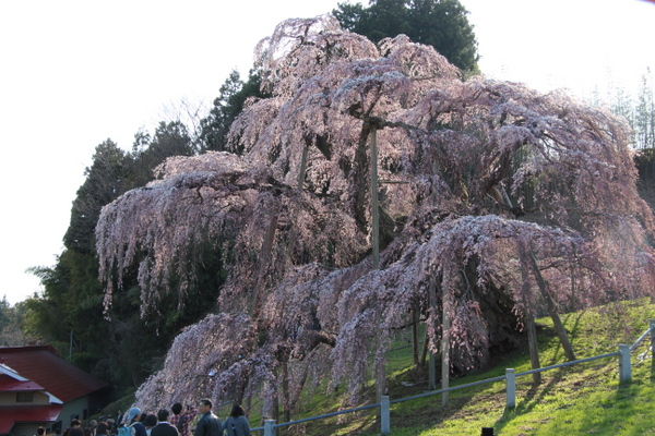 三春の滝桜3