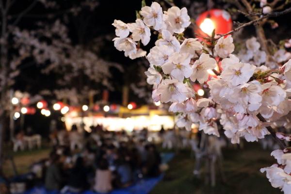西公園の夜桜1