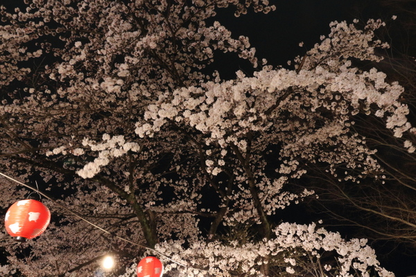 西公園の夜桜2