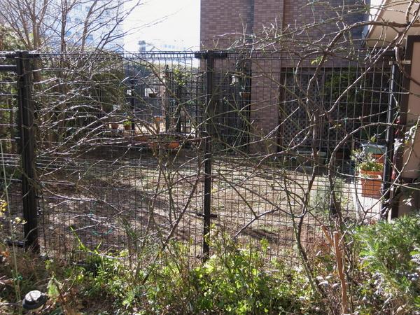 フェンスのつるバラの誘引1