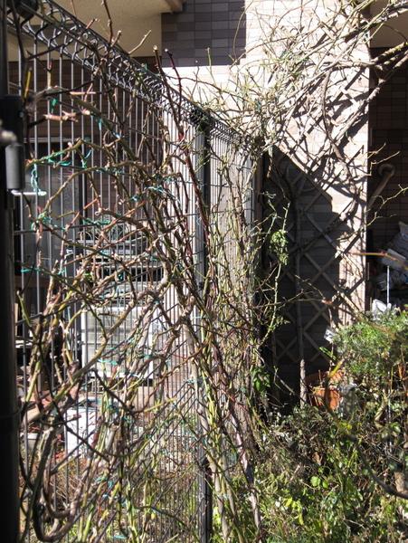 フェンスのつるバラの誘引2
