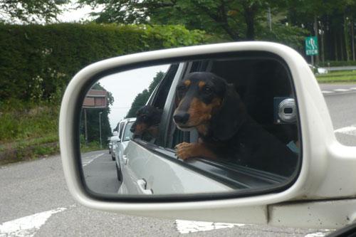 サイドミラーに映る犬たち