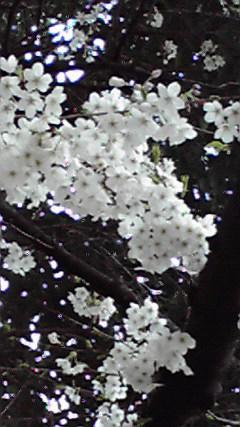 orenosakura10.jpg