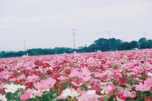 2010秋桜2