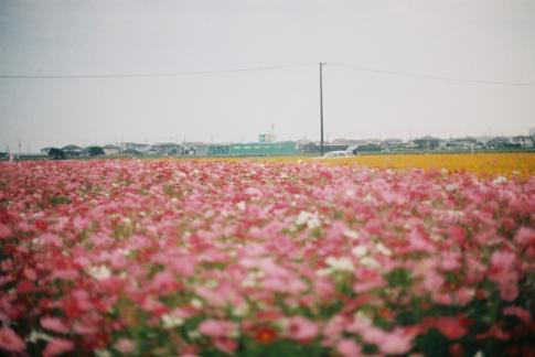 2010秋桜4